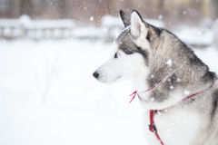 Portrait of Siberian Husky in profile. Royalty Free Stock Photo
