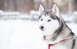 Portrait of Siberian Husky in profile. Stock Photos
