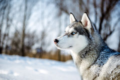 Portrait of Siberian Husky in profile Stock Images