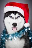Portrait of Siberian husky in Santa hat Stock Images