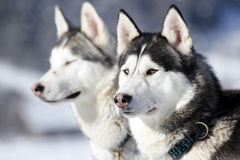 Portrait Of Siberian Husky Sled Dog Royalty Free Stock Photos