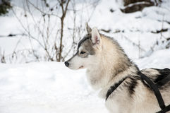 Portrait of siberian husky sled dog at snowy winter Royalty Free Stock Photos