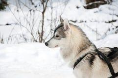 Portrait of siberian husky sled dog at snowy winter Royalty Free Stock Photos