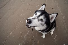 Portrait of Siberian Husky. Portrait from an unusual angle (up above) of a black and white Siberian Husky dog standing on a sandy beach Royalty Free Stock Image