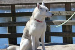 Portrait of siberian husky whith leash on by the water. Portrait of siberian husky whith leash on Stock Photo