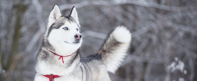 Portrait of Siberian Husky in winter. Royalty Free Stock Images