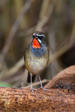 Portrait of Siberian Rubythroat. (Calliope calliope) on the wood in nature of Thailand Royalty Free Stock Images