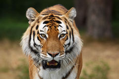 Portrait of a Siberian Tiger Stock Photography