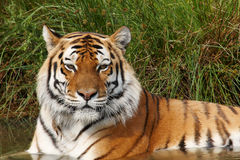 Portrait of a Siberian Tiger Stock Image