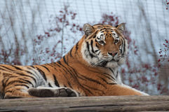 Portrait of a Siberian Tiger Royalty Free Stock Images