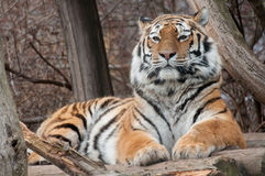 Portrait of a Siberian Tiger Royalty Free Stock Photography