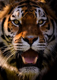 Portrait Of Siberian Tiger Stock Photo