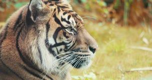 Portrait of a Siberian Tiger. 4K UHD footage stock video