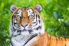 Portrait of a siberian tiger Stock Images