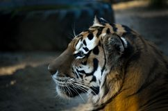 The portrait of Siberian tiger Panthera tigris altaica, or Amur tiger, at sunset Stock Photo