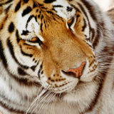 Portrait of a siberian tiger (Panthera tigris altaica) Stock Photos