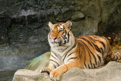Portrait of siberian tiger Royalty Free Stock Images