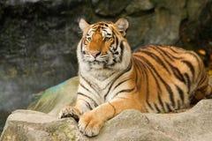 Portrait of siberian tiger Royalty Free Stock Photo