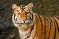 Portrait of siberian tiger Royalty Free Stock Photo