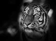 Portrait of a siberian tiger Royalty Free Stock Photo