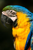 Portrait side profile of a Amazon Parrot Stock Images