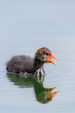 Portrait Side View Of Young Black Coot Fulica Atra Royalty Free Stock Photos