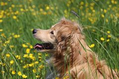 Portrait in sideview of a golden retriever mix. Portrait  in sideview of a beautiful Golden retriever mix  between yellow flowers in the meadow Stock Photos