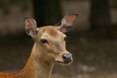 Portrait of sika deer. Royalty Free Stock Photos