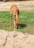 .The portrait of Sika Deer drinking. Some water at KK zoo,Thailand Royalty Free Stock Photo