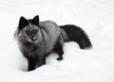 Portrait Silver Fox. Silvewr Fox and Bushy Tail Stock Images