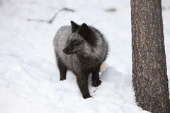 Portrait Silver Fox. In Mountains and snow Stock Photography