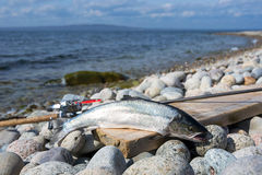 Portrait of silver sea trout fishing trophy. Silver sea trout trophy on the stony coast Stock Photos