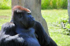 Portrait of a Silverback Stock Image