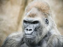 A Portrait of a Silverback Gorilla royalty free stock photos