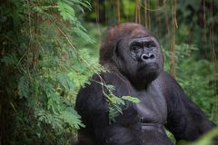 Portrait of a Silverback gorilla. Silverback gorilla hiding in the bush stock photos