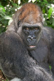 Portrait of a Silverback Gorilla Stock Photography