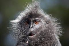 Portrait Silvered leaf monkey Trachypithecus cristatus or Silvery lutung silver leaf monkey. Silvery langur Malaysia. Silvered leaf monkey Trachypithecus stock photo