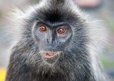 Portrait Silvered leaf monkey Trachypithecus cristatus or Silvery lutung silver leaf monkey. Silvery langur Malaysia. Silvered leaf monkey Trachypithecus royalty free stock image