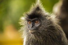 Portrait Silvered leaf monkey Trachypithecus cristatus or Silvery lutung silver leaf monkey. Silvery langur Malaysia stock photos