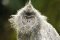 Portrait of a Silvered Leaf Monkey Stock Image