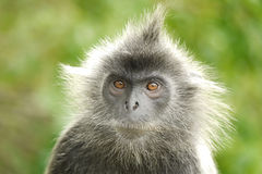 Portrait of a Silvered Leaf Monkey Stock Photography