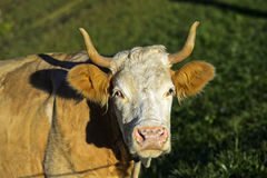 Portrait of a Simmental cow, Stock Image
