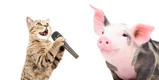 Portrait of a singing cat and piglet. On white background stock photo