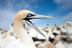 Portrait of a single Cape Gannet Royalty Free Stock Images