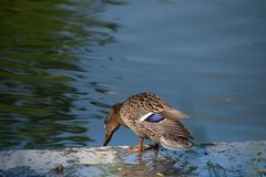 Portrait of a single female duck sitting by the water. Graceful parent looking over her children royalty free stock photography