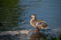 Portrait of a single female duck sitting by the water. Graceful parent looking over her children royalty free stock photos