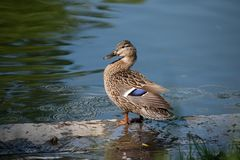 Portrait of a single female duck sitting by the water. Graceful parent looking over her children stock photos