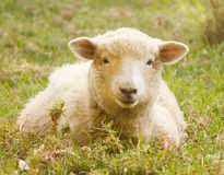 Portrait single sheep lying in grass of meadow at sunny summer day outdoor Royalty Free Stock Images
