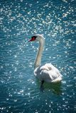 Portrait of single swan bird on water surface. Animals in wildlife stock images
