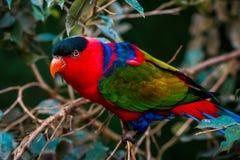 Portrait of A single Tricolor Parrot, Lorius Lory Stock Photo